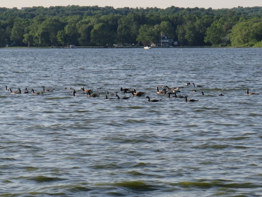 Canadian Geese on Lake - IMG_0040