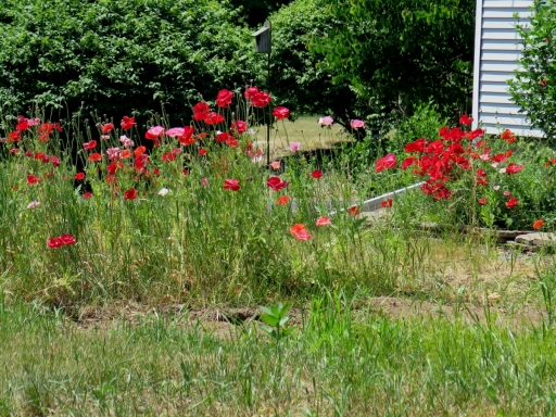 Poppies in Rochester - IMG_0022