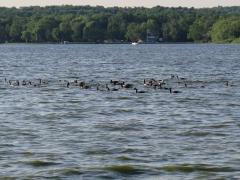 Canadian Geese on Lake - IMG_0040