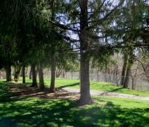 Pine Trees at Wildwood Park - IMG_8427