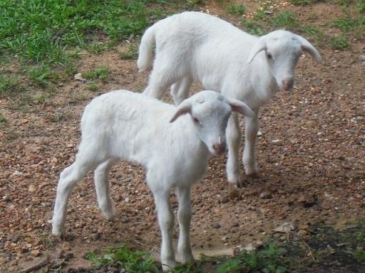 Texas lambs - 3