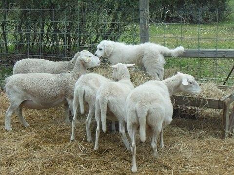 Texas lambs - 9