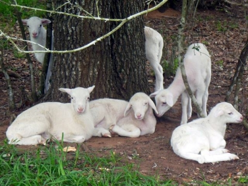 Texas lambs at tree - 4