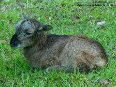 Texas Lamb - 1