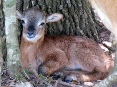 Texas Lamb - 2