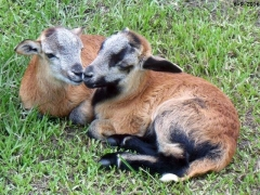 Texas lamb - 11