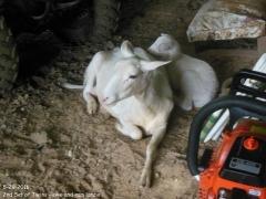 Texas lamb - 7