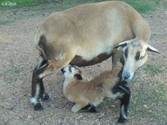 Texas lambs - 10