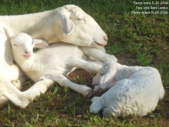 Texas lambs and mother - 5