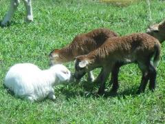 Texas lambs - tree lambs - 8