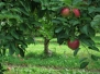 Apple Orchard in Upstate New York