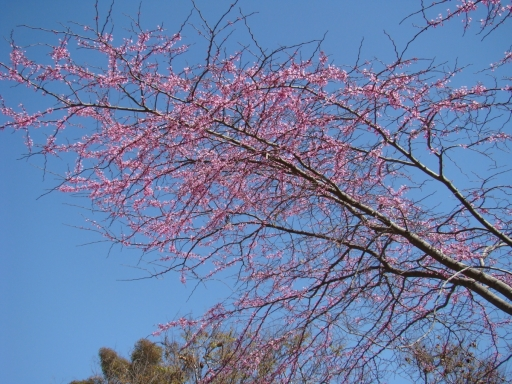 Balboa-Park-Spring-Colors-06-Redbud