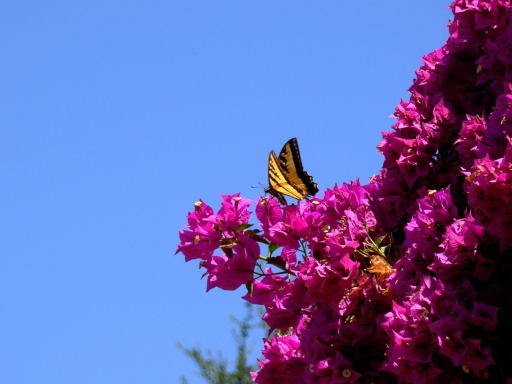 Tiger-Swallowtail-and-Bougainvillea-01