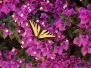 Butterfly and the Bougainvillea