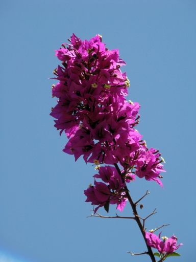 Tiger-Swallowtail-and-Bougainvillea-08