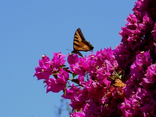 Tiger-Swallowtail-and-Bougainvillea-10