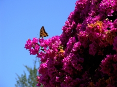 Tiger-Swallowtail-and-Bougainvillea-02