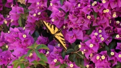Tiger-Swallowtail-and-Bougainvillea-03