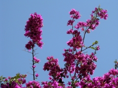 Tiger-Swallowtail-and-Bougainvillea-07