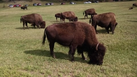 Bison at Custer State Park (9)