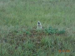 Prairie Dogs on trail (2)