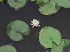Water Lilly - IMG_4334.JPG