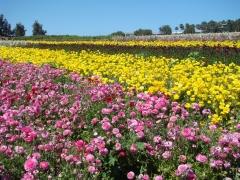 Flower-Fields-02