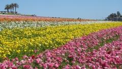 Flower-Fields-07