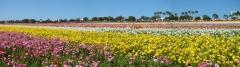 Flower-Fields-19