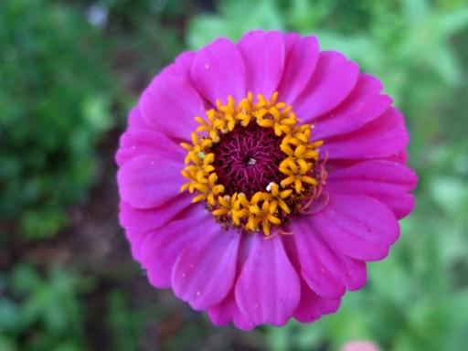 purple zinnia - 1 - IMG_3486.JPG