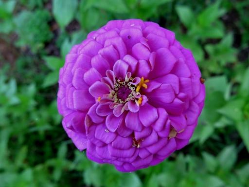 purple zinnia - 2 - IMG_3484.JPG