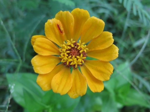 yellow zinnia - 2 - IMG_3512.JPG