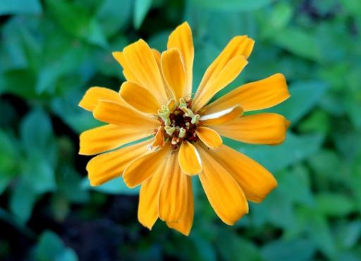 yellow zinnia - IMG_3491.JPG