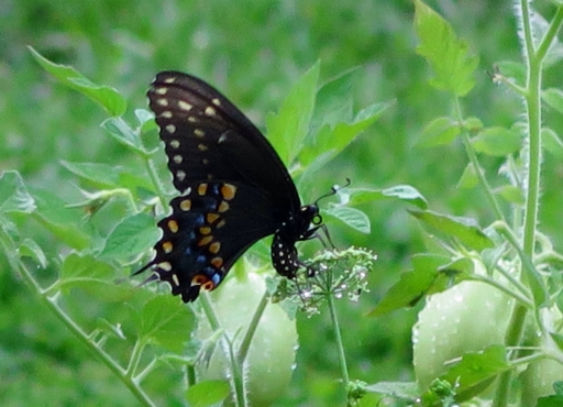 Swallowtail-Butterfly-eating-Parsley-IMG_5580_2R_1.jpg