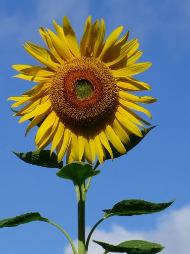 sunflower-2-IMG_5503_1-e1403334734694.jpg