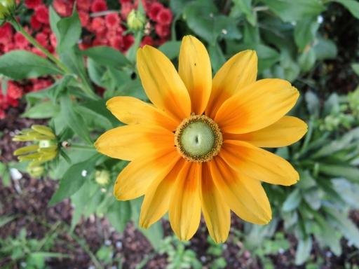sunflower-in-front-yard-IMG_5336_1.jpg