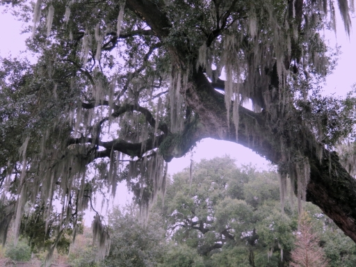Live oak tree and spanish moss - IMG_6656_1