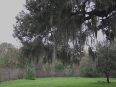 Spanish Moss on a live oak tree and giraffe - IMG_6655_1
