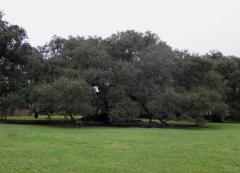 Tree of Life Live Oak Tree - IMG_6668_1 - croopped
