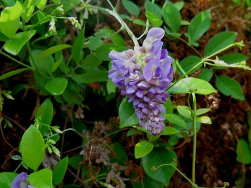 Grape Hyacinth - IMG_2844_1.jpg