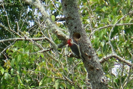 Woodpecker - 2 - IMG_2808_1.jpg