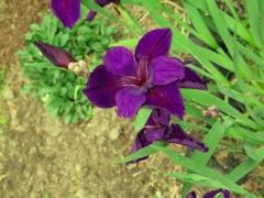 Iris - 2 - IMG_2827_1.jpg