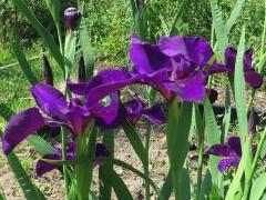 Iris - 4 - IMG_2753-cropped.JPG