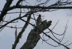 Woodpecker - 1 - IMG_2832_1.jpg