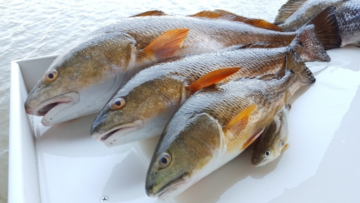 Redfish Catch - 3 fish - Summer 2015 - 20150607_141148 (1)