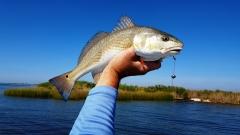 Louisiana Redfish catch at Lake Pontchartrain - 20151011_112646