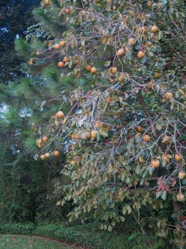 Copy of Persimmon Tree 2014 - 1 - IMG_7543_1