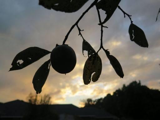 Persimmons into Sunset - 2014 - 1 -  IMG_7554_1