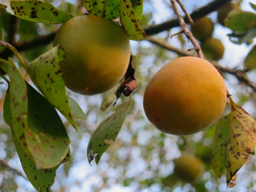 Persimmons on Branch 2014 - 1 - IMG_7550_1