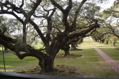 Live Oak Trees at Oak Alley Plantation